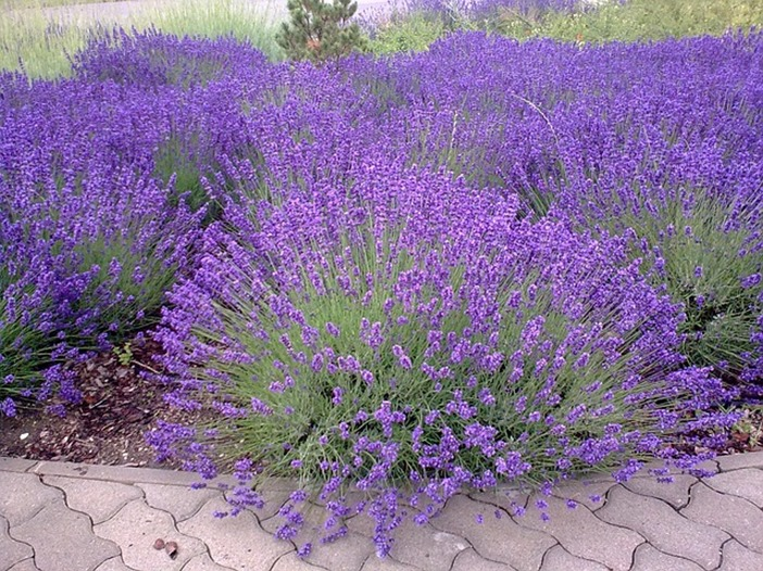 How to grow and harvest English Lavendar