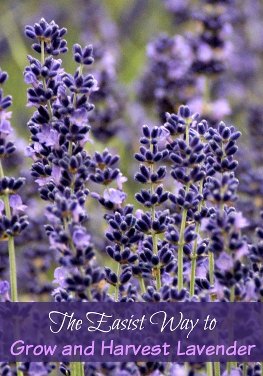 The-Easiest-Way-to-Grow-and-Harvest-Lavender